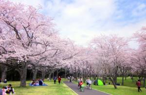 花見を訪日外国人取り込みのきっかけに!!